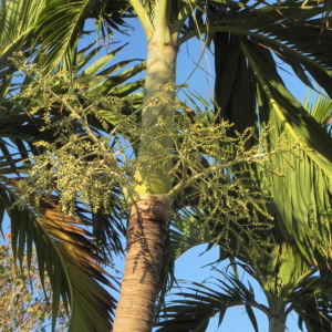 Kokospalme Samen gruen Cocos nucifera 10