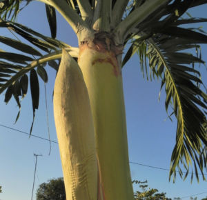 Kokospalme Samen gruen Cocos nucifera 14