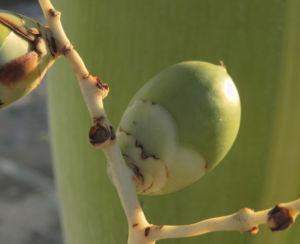 Kokospalme Samen gruen Cocos nucifera 16