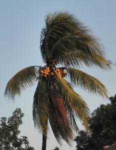 Kokospalme Samen gruen Cocos nucifera 19