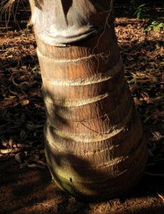 Kokospalme Stamm grau braun Cocos nucifera 01