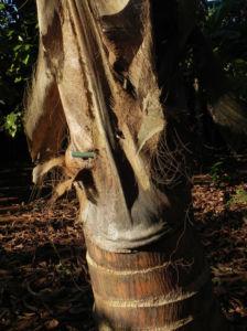 Kokospalme Stamm grau braun Cocos nucifera 02