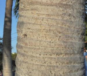 Kokospalme Stamm grau braun Cocos nucifera 03