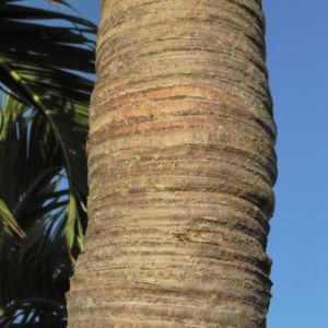 Kokospalme Stamm grau braun Cocos nucifera 04