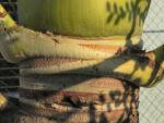 Kokospalme Stamm grau braun Cocos nucifera 05