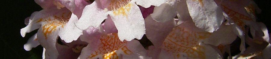 Anklicken um das ganze Bild zu sehen Kolkwitzie Blüte weiss gepunktet Kolkwitzia amabilis