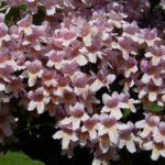 Kolkwitzia Bluete Kolkwitzia amabilis 03