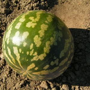 Koloquinte Frucht gruen Citrullus colocynthis 01