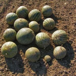 Koloquinte Frucht gruen Citrullus colocynthis 03