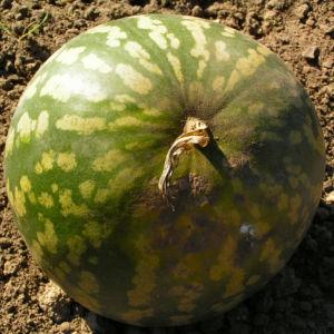 Koloquinte Frucht gruen Citrullus colocynthis 04