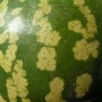 Koloquinte Frucht gruen Citrullus colocynthis 05