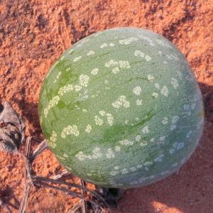 Koloquinte Koloquintenkuerbis reife Frucht gruen Citrullus colocynthis 15