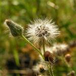 Kompass Lattich Blatt gruen Lactuca serriola 07