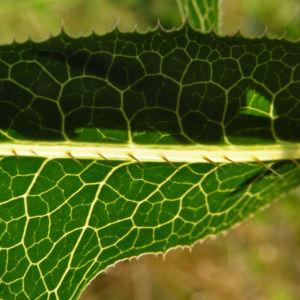 Kompass Lattich Blatt gruen Lactuca serriola 09