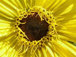 Kompasspflanze Bluete gelb Silphium laciniatum 01