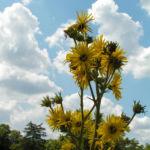 Kompasspflanze Bluete gelb Silphium laciniatum 02