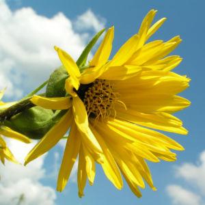 Kompasspflanze Bluete gelb Silphium laciniatum 04