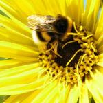 Kompasspflanze Bluete gelb Silphium laciniatum 05
