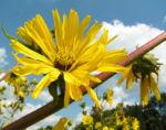 Kompasspflanze Bluete gelb Silphium laciniatum 06