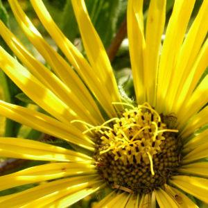 Kompasspflanze Bluete gelb Silphium laciniatum 08