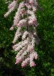 Bild: Kleinblütige-Tamariske Strauch Blüte pink Tamarix parviflora