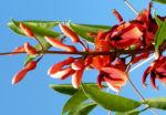 Korallenstrauch Bluete rot Erythrina crista galli 08
