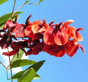 Korallenstrauch Bluete rot Erythrina crista galli 10