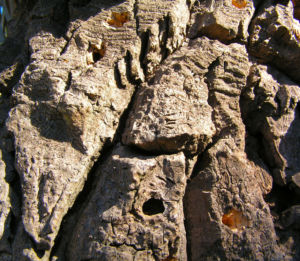 Korallenstrauch Bluete rot Erythrina crista galli 17