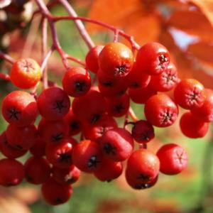 Koreanische Eberesche Beere Blatt rot braun Sorbus commixta 02