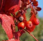Koreanische Eberesche Beere Blatt rot braun Sorbus commixta 04