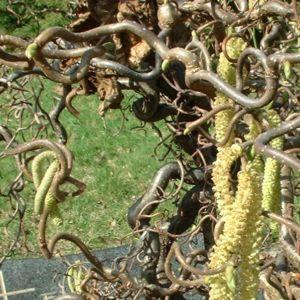 Korkenzieherhasel Corylus avellana 01