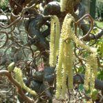Korkenzieherhasel Corylus avellana 02