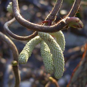 Korkenzieherhasel Corylus avellana 04