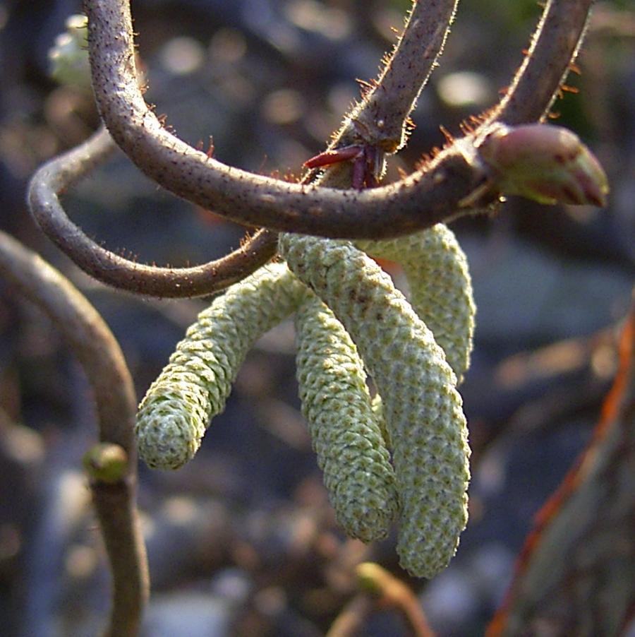 Korkenzieherhasel Corylus avellana
