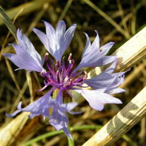 Kornblume Bluete blau Centaurea cyanus 01