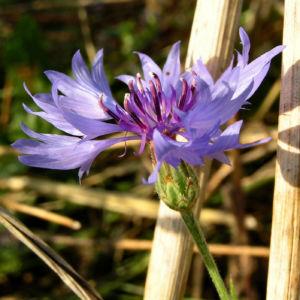 Kornblume Bluete blau Centaurea cyanus 03