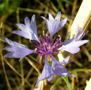 Kornblume Bluete blau Centaurea cyanus 04