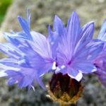 Kornblume Bluete blau Centaurea cyanus 05