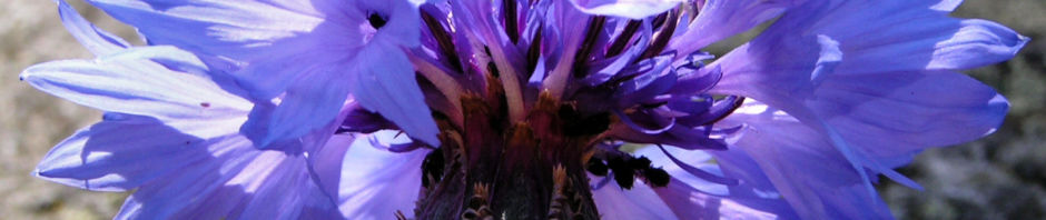 kornblume-bluete-blau-centaurea-cyanus