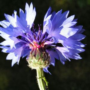 Kornblume Bluete blau Centaurea cyanus 09