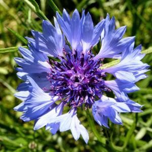 Kornblume Bluete blau Centaurea cyanus 10