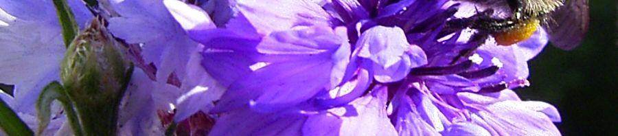Anklicken um das ganze Bild zu sehen Kornblume Blüte blau Centaurea cyanus