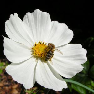 Kosmee Schmuckkoerbchen Bluete weiss Cosmea bipinnatus 01