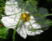 Zurück zum kompletten Bilderset Schmuckkörbchen Kosmee Blüte weiß Cosmea bipinnatus