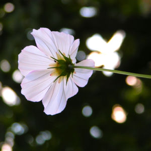 Bild: Kosmee Schmuckkoerbchen Bluete weiss Cosmea bipinnatus