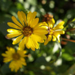 Kraeftige Grindelie Bluete gelb Grindelia robusta 02