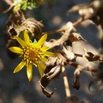 Kraeftige Grindelie Bluete gelb Grindelia robusta 06