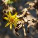 Zurück zum kompletten Bilderset Kräftige Grindelie Blüte gelb Grindelia robusta