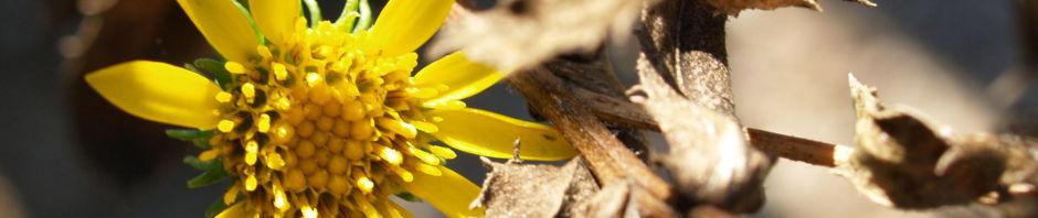 Anklicken um das ganze Bild zu sehen Kräftige Grindelie Blüte gelb Grindelia robusta