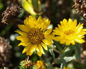 Kraeftige Grindelie Bluete gelb Grindelia robusta 07